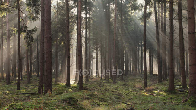 Sunbeams streaming through trees in forest — Stock Photo