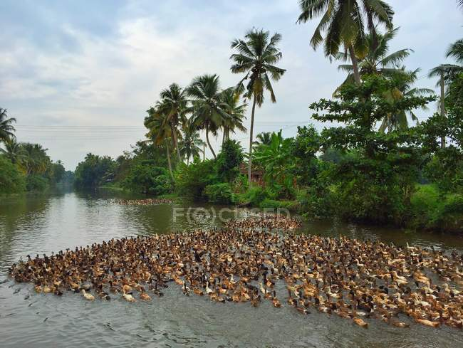 Duck farm in river among palms — Stock Photo