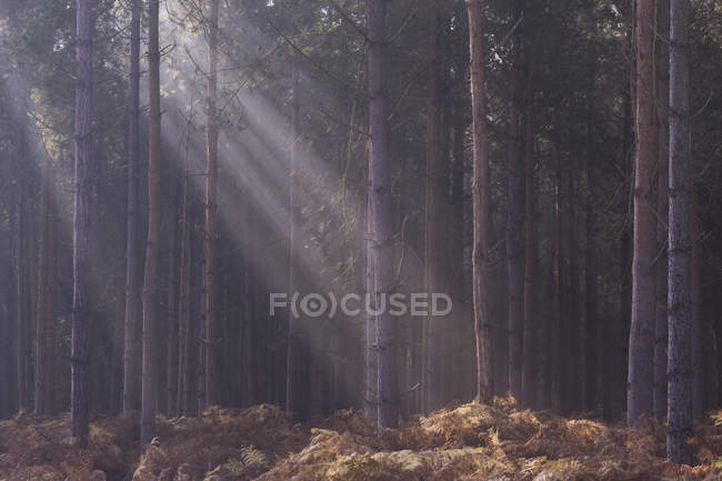 Sunbeams over trees in deep forest — Stock Photo