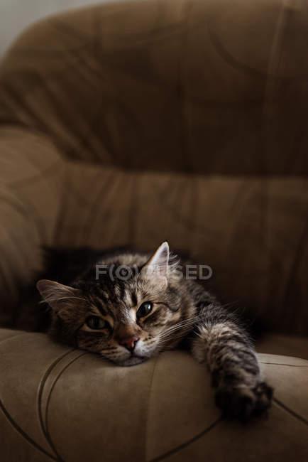 Gato acostado en sillón - foto de stock