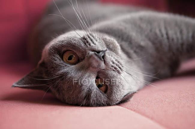Gato shorthair britânico mentindo — Fotografia de Stock