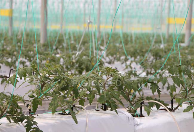 Tomato plants inside greenhouse — Stock Photo