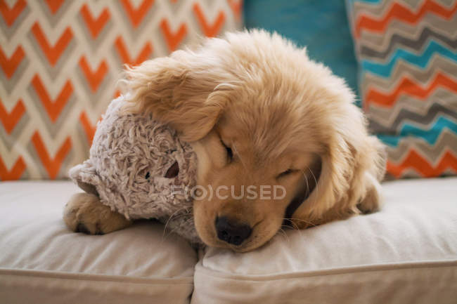 Chiot Golden retriever avec ours en peluche — Photo de stock