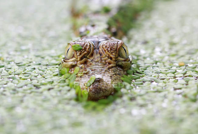 Baby crocodile head over water — Stock Photo