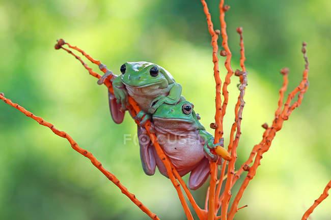 Dumpy ranas de árbol en la planta - foto de stock