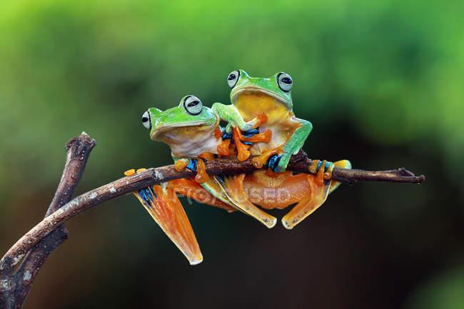 Лягушки на ветке в Индонезии — стоковое фото