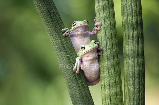 Dos ranas de árbol en la planta - foto de stock