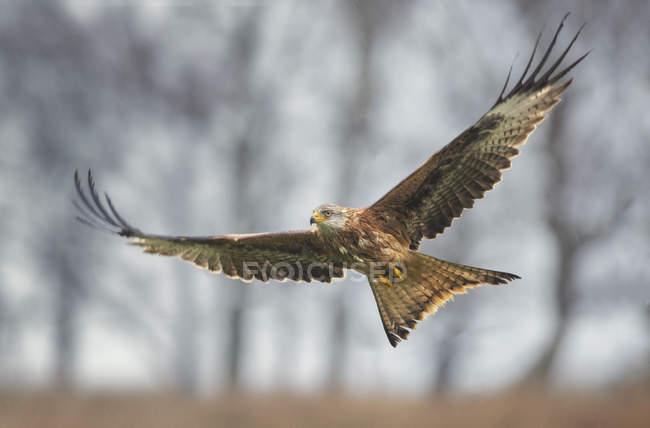 Vol de cerf-volant rouge — Photo de stock