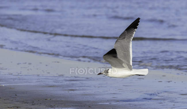 Basso volo gabbiano sulla spiaggia — Foto stock