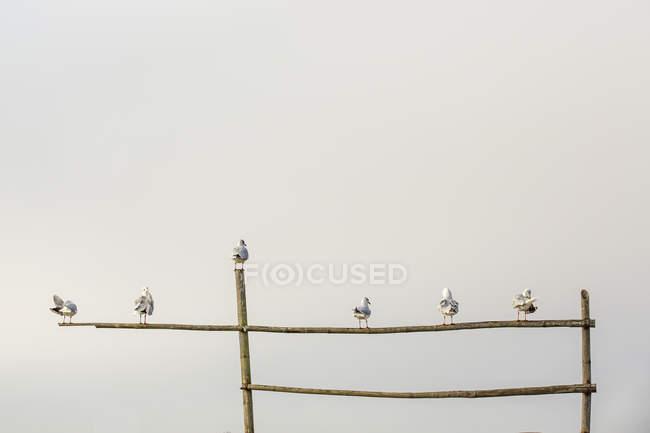 Mouettes se percher sur la structure en bambou — Photo de stock