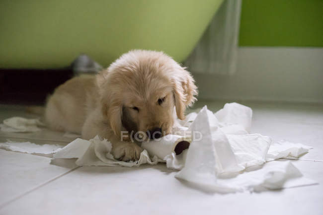 Golden retriever jouant avec rouleau de papier toilette — Photo de stock