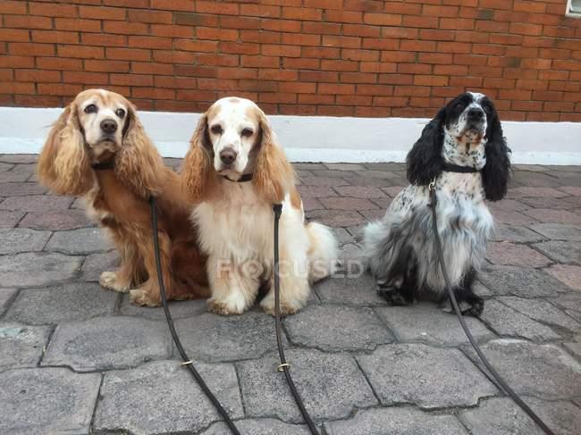 Cocker spaniel cães sentado na rua — Fotografia de Stock