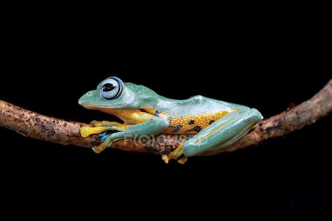 Яванская лягушка на ветке — стоковое фото