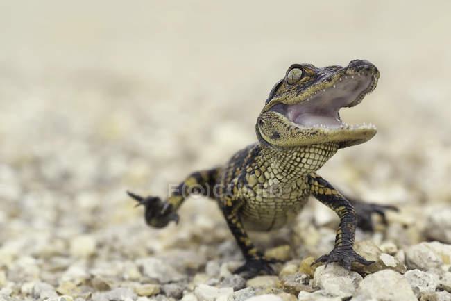 American Alligator hatchling — Stock Photo