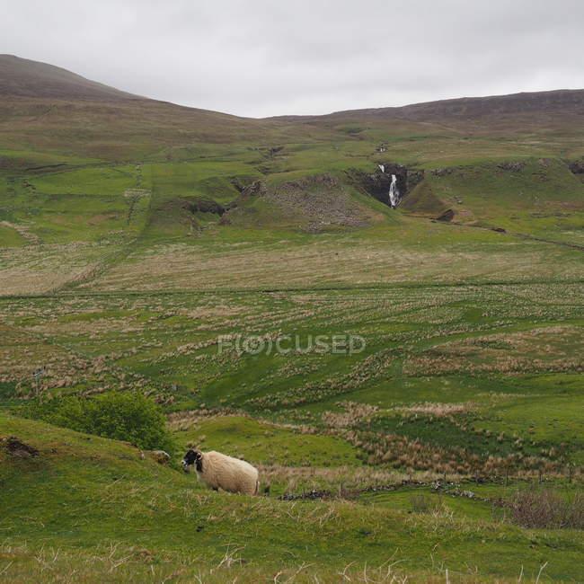 Commandes de moutons dans le champ — Photo de stock