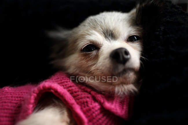 Chandail rose portant du Chihuahua-chien — Photo de stock