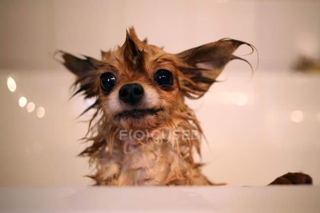 Nassen Chihuahua Hund in Badewanne — Stockfoto