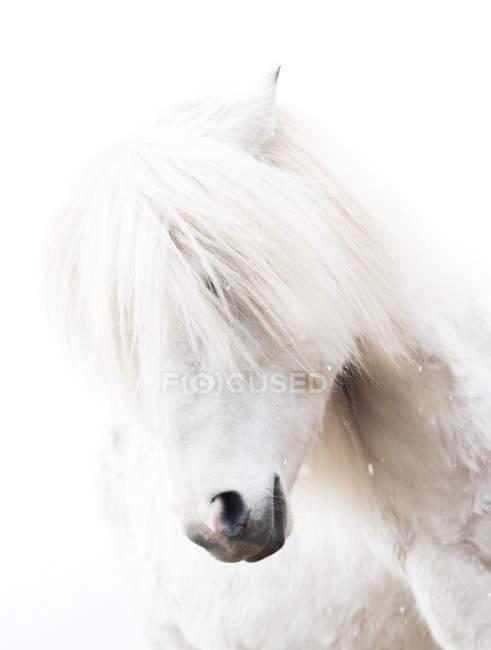 Retrato de caballo blanco - foto de stock
