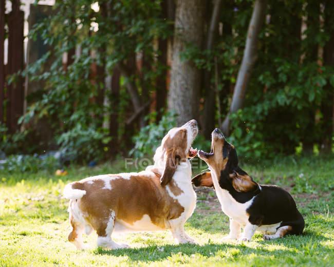 Dois cachorros de basset hound brincando no jardim — Fotografia de Stock