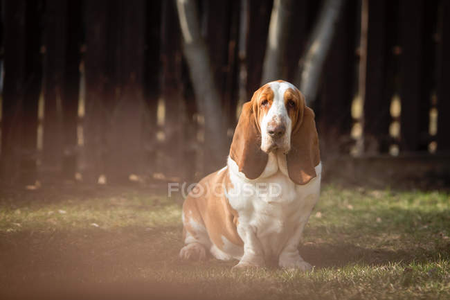 Portrait of basset hound dog in garden — Stock Photo