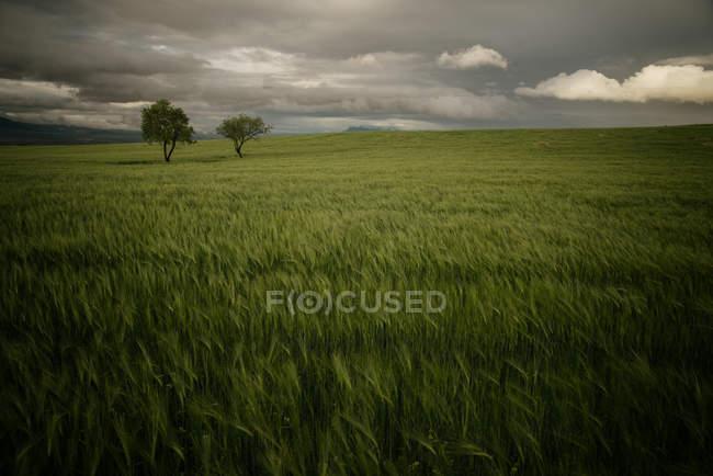 Arbres dans une prairie au ciel dramatique — Photo de stock