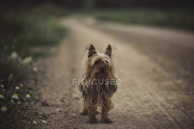 Yorkshire chien terrier — Photo de stock