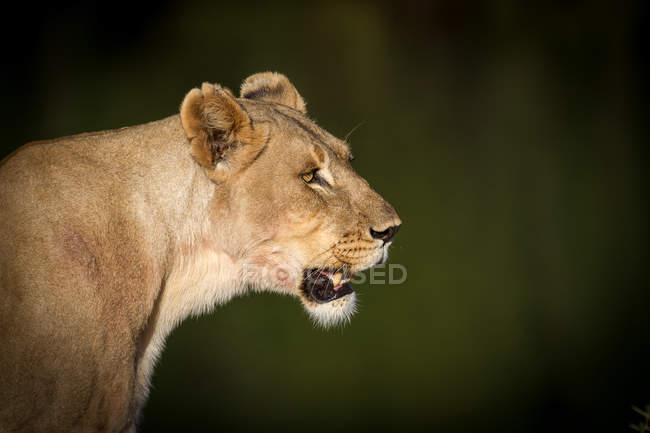 Side view portrait of lioness — Stock Photo