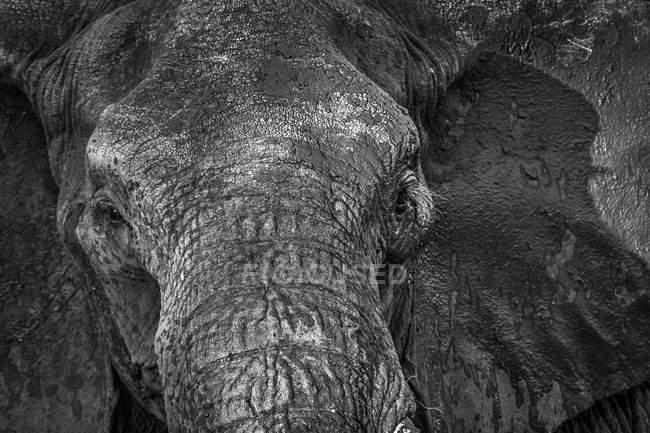 Elefante cubierto de barro - foto de stock