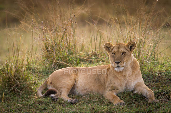 Lioness lying in field — Stock Photo