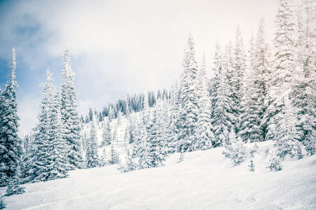Snow covered landscape and evergreens — Stock Photo