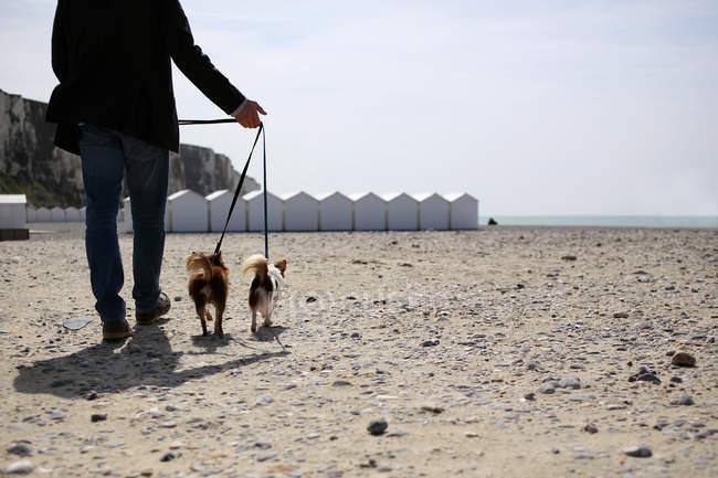 Cães Chihuahua ambulante de homem — Fotografia de Stock