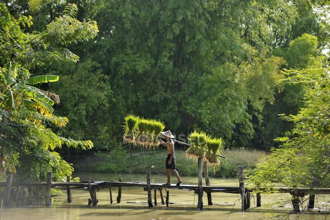 Homem transportando plantas de arroz através da ponte — Fotografia de Stock