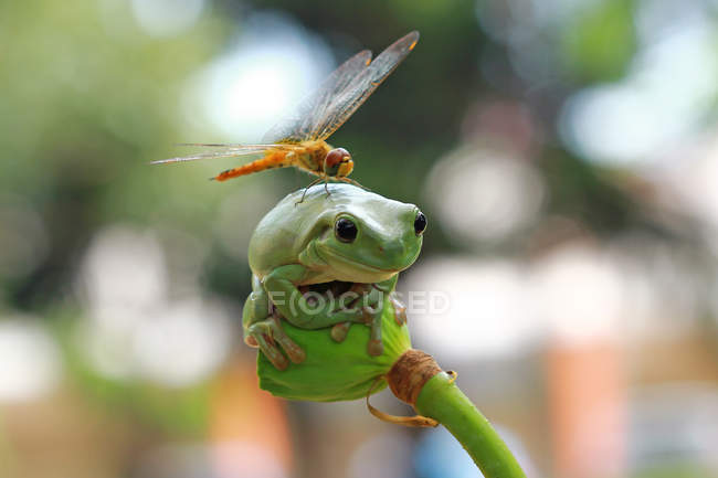 Dragonfly sitting on frog — Stock Photo
