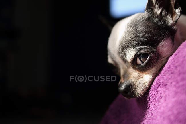 Закри Собаки чихуахуа — стокове фото