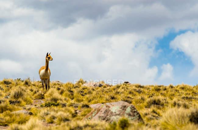 Vista panorámica de guanaco lindo en el desierto, Tamarugal, Chile - foto de stock