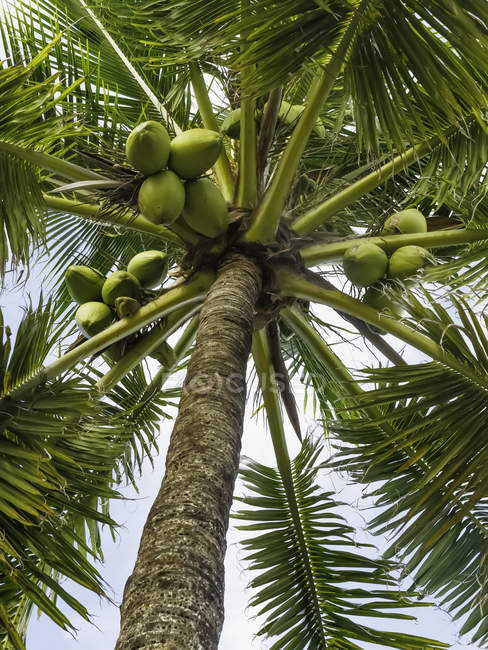 Low angle view of a coconut palm tree — Stock Photo