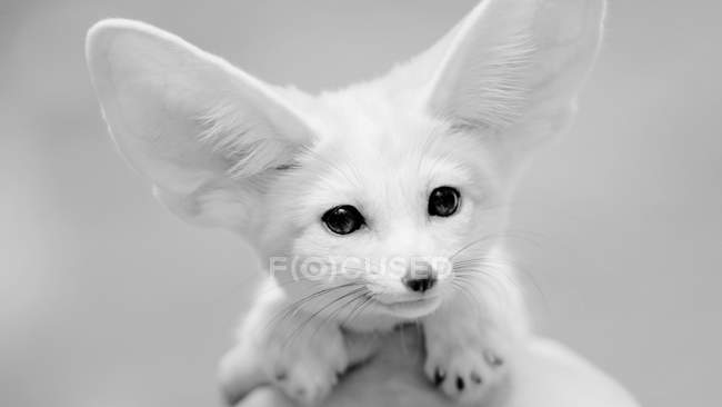 Gros plan de Fennec fox museau, photo noir et blanc — Photo de stock