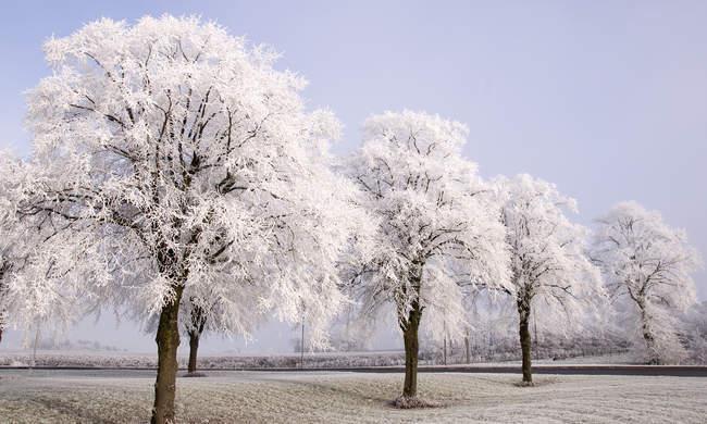 Красивый живописный вид на заснеженные деревья в ряд — стоковое фото