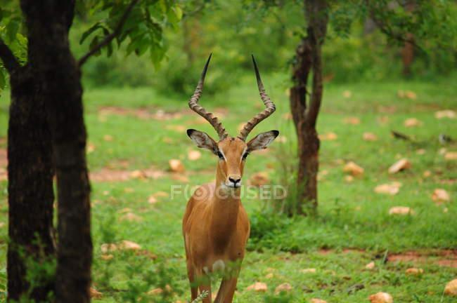 Schöne gehörnte Impala starrte Viewer in der Natur — Stockfoto