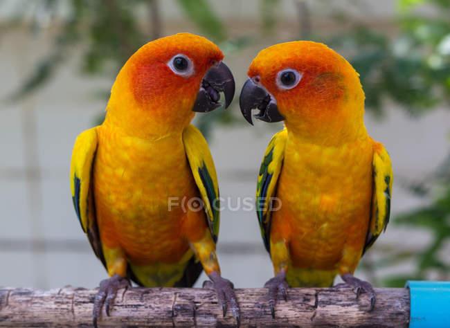 Два конурных попугая смотрят друг на друга на ветке дерева — стоковое фото
