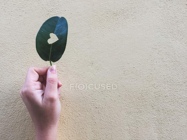 Cropped image of Woman holding a leaf with a heart shape cut out of it — Stock Photo
