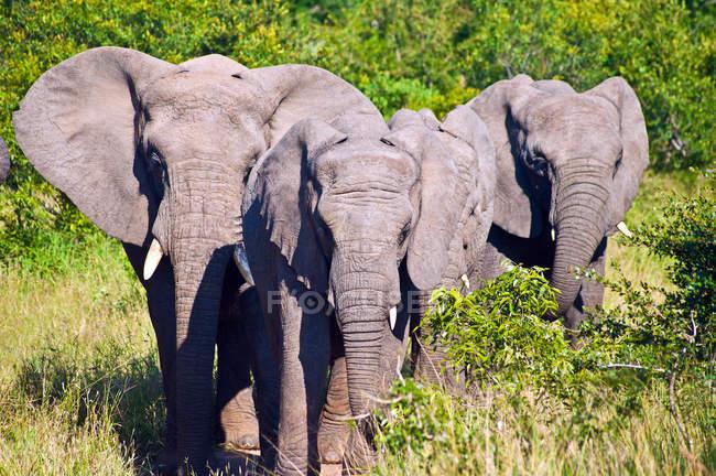 Gruppe schöner Elefanten in wilder Natur — Stockfoto