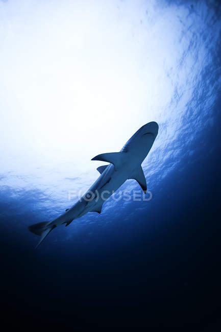 Squalo della barriera corallina che nuota sott'acqua, vista a basso angolo — Foto stock
