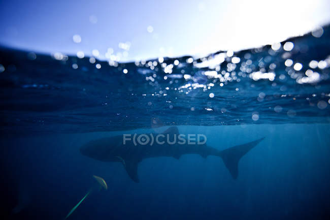 Majestueux requin-baleine nageant dans la mer bleue — Photo de stock