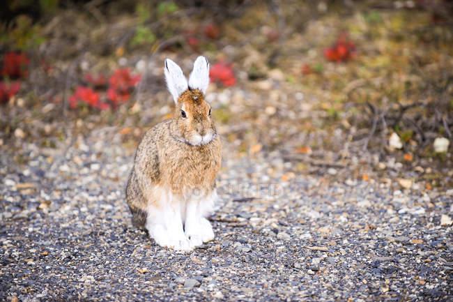 Заяц на снегоступах или зайца americanus, крупным планом — стоковое фото