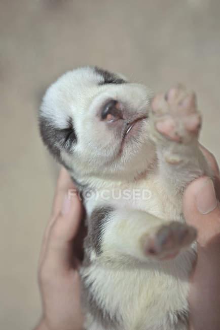 Les mains humaines tenant chiot husky sibérien nouveau-né — Photo de stock