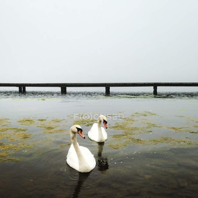 Two white swans floating on lake water — Stock Photo