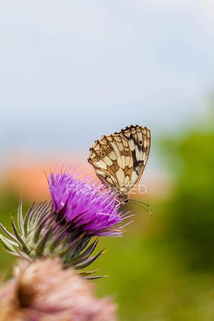 Nahaufnahme der Schmetterling sitzt auf Rosa Blume — Stockfoto