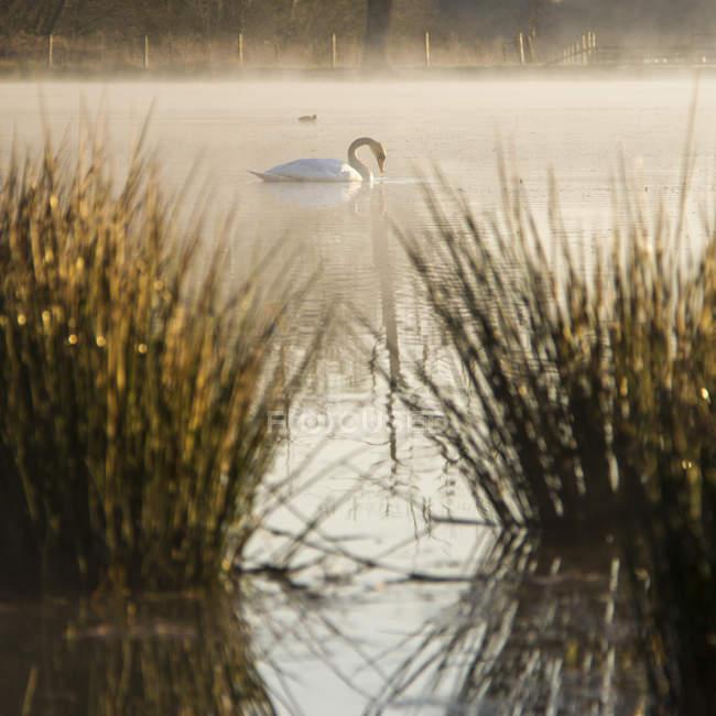 Side view Beautiful swan swimming on lake at morning sunshine — Stock Photo