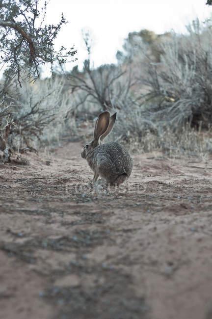 Милый серый кролик, сидя на земле в пустыне — стоковое фото